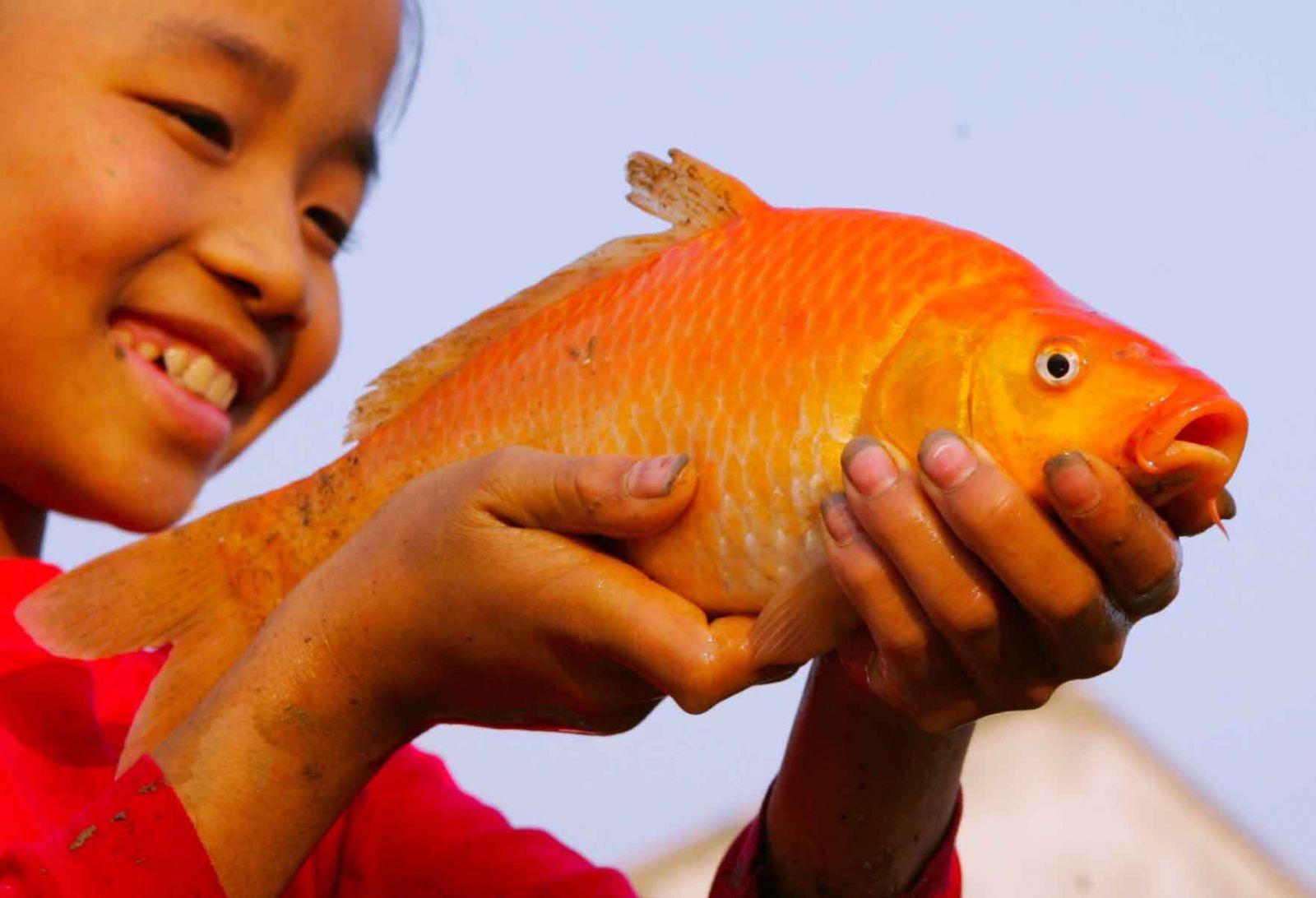 Mơ thấy cá chép đỏ