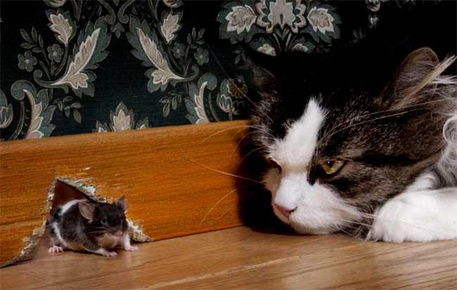 mơ thấy mèo bắt chuột
