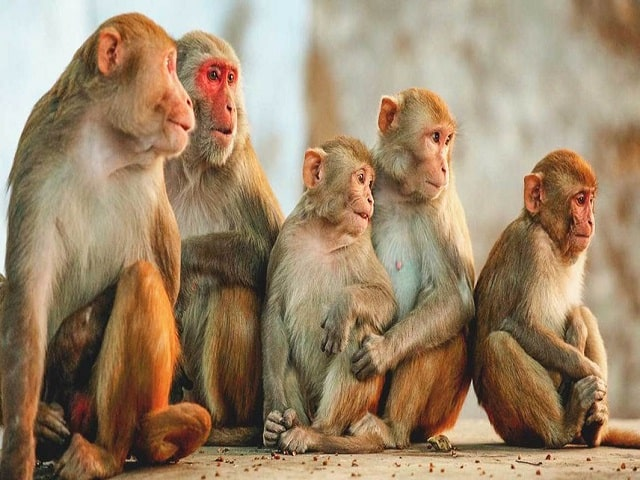 Mơ thấy bầy khỉ