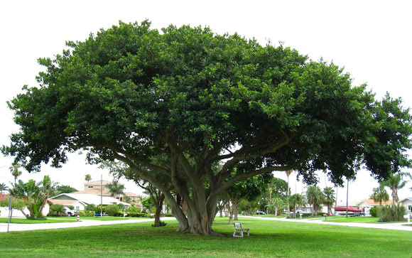 Mơ thấy cây cổ thụ to lớn