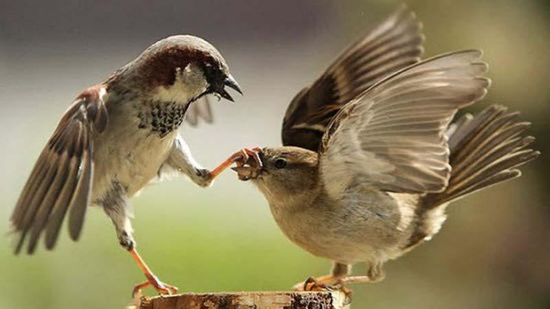 Mơ thấy chim đang mổ nhau
