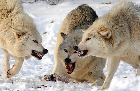 Mơ thấy đàn chó đánh nhau