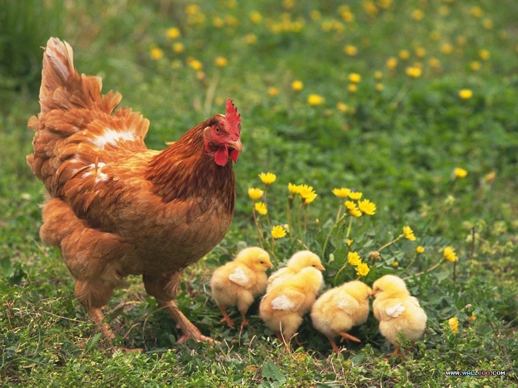 Mơ thấy đàn gà con với gà mẹ