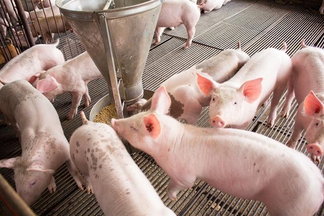 Mơ thấy đàn lợn đang ăn