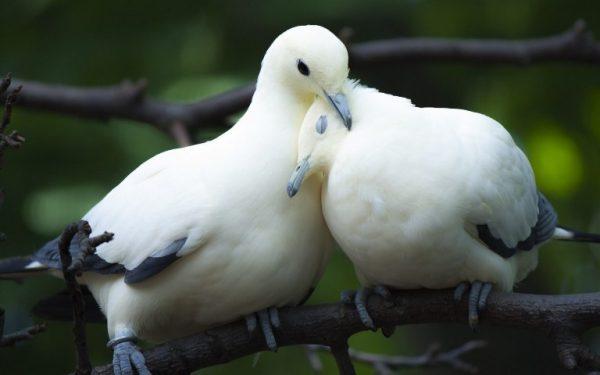 Mơ thấy đôi chim bồ câu