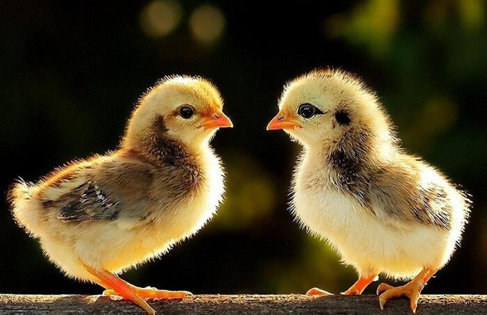 Mơ thấy gà con