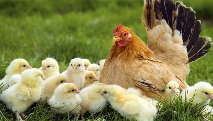 Mơ thấy gặp gà mái dắt bầy gà con