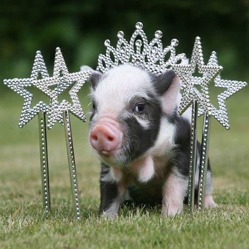 Mơ thấy gặp lợn