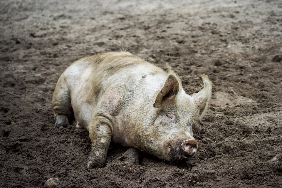 Mơ thấy gặp một con lợn dơ bẩn