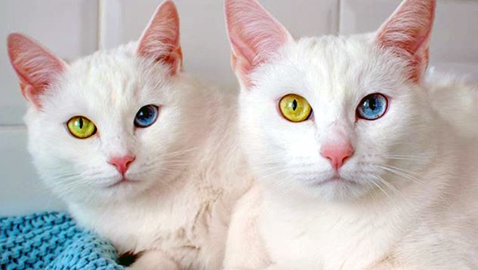 Mơ thấy hai con mèo trắng