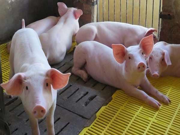 Mơ thấy lợn nhà