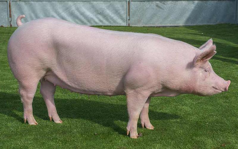 Mơ thấy lợn trắng