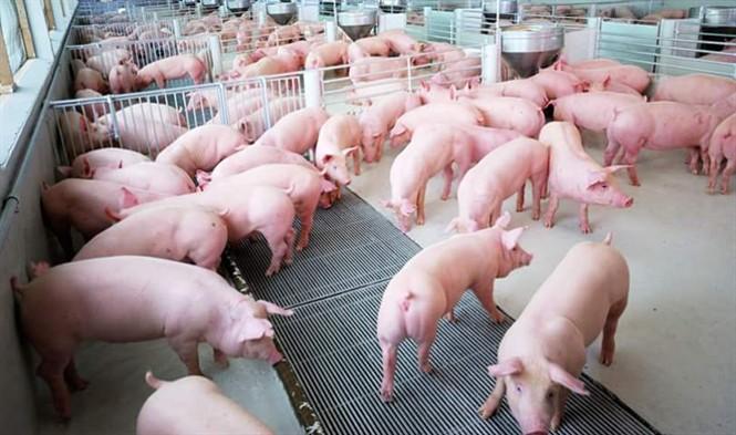 Mơ thấy một đàn lợn trắng