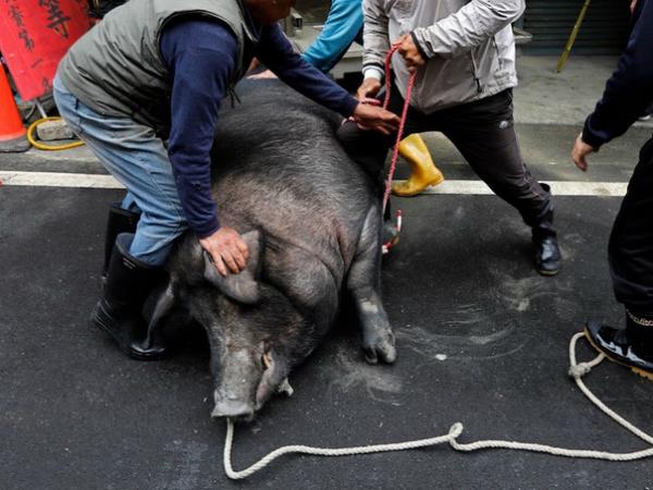 Mơ thấy nhiều người hò nhau đuổi bắt lợn để giết