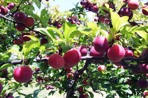 Mơ thấy quả chín trên cây