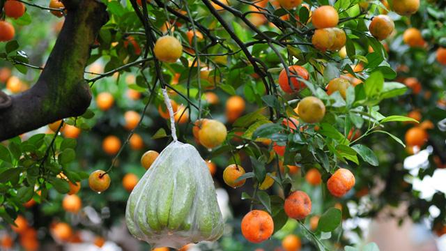 Mơ thấy quả trên cây