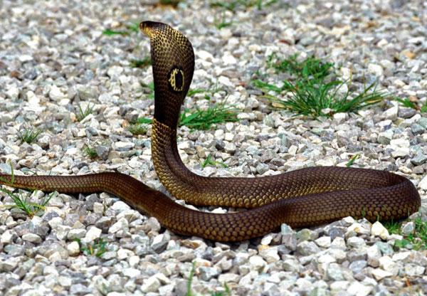 Mơ thấy rắn đất biến thành rắn độc