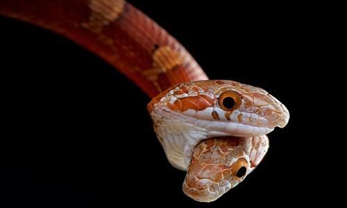 Mơ thấy rắn hai đầu đánh nhau
