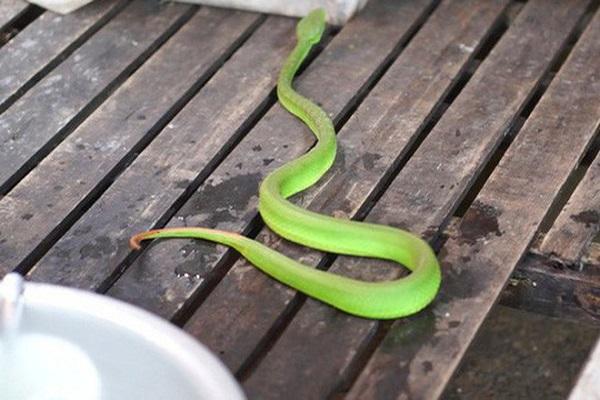Mơ thấy rắn xanh bò vào nhà