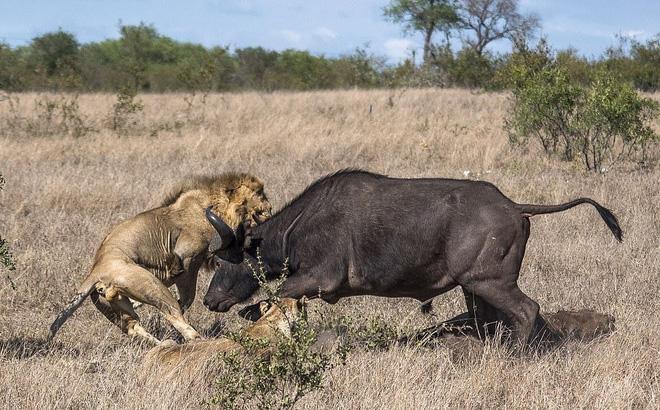 Mơ thấy sư tử hoặc hổ giết trâu rừng