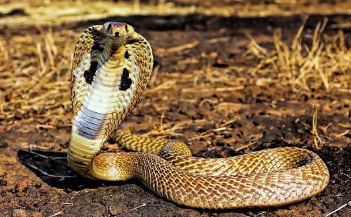 Giải mã ý nghĩa giấc mơ thấy rắn